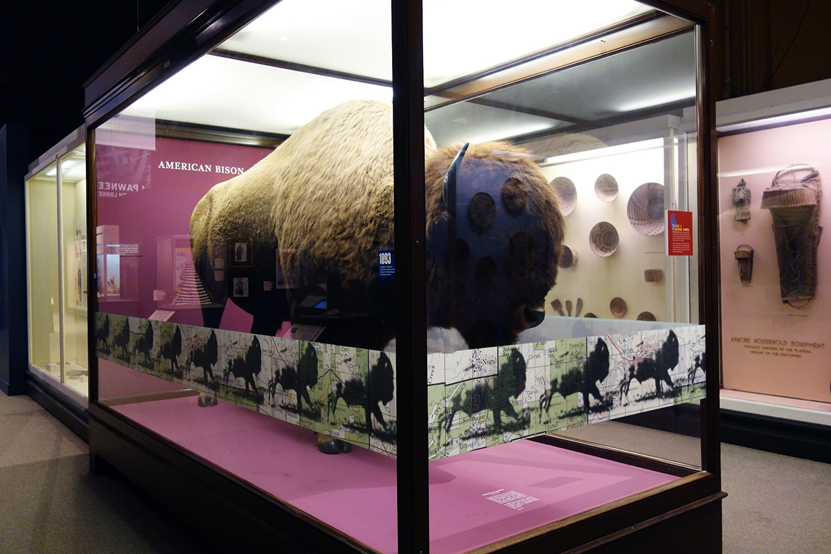 Art installation with large buffalo in glass case